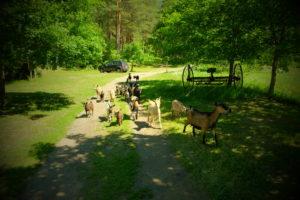 Elamustalu Padisel - metsikud kitsed - wild goats - farm animals - Holiday resort in Padise, Harjumaa - only 45 km from Tallinn www.kallastetalu.ee Kallaste Turismitalu OÜ - metsapuhkus kauni looduse keskel - accommodation, sauna, se