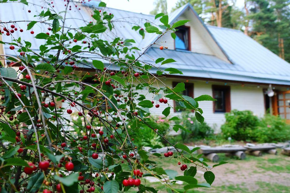 Kallaste turismitalu peamaja ja kirsid