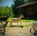 hilja-tareke-ja-jooksvad-kitsed-holiday-resort-in-padise-harjumaa-only-45-km-from-tallinn-wwwkallastetaluee-kallaste-turismitalu