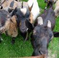 talu-loomad-loomapark-kitsed-loomade-toitmine-kall