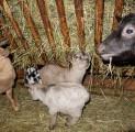 kallaste-talu-kitsekesed-loomapark-kallaste-talu-rksa-hingega-talu-harjumaal-wwwkallastetaluee-kallaste-talu-turismitalu-holiday-re