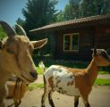 kitsed-ja-tareke-hilja-holiday-resort-in-padise-harjumaa-only-45-km-from-tallinn-wwwkallastetaluee-kallaste-turismitalu-o-metsapuhkus-kau