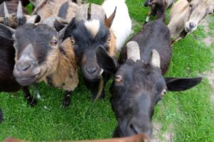 Talu loomad -loomapark - kitsed - loomade toitmine - Kallaste Turismitalu Harjumaal